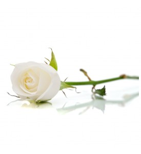 Long stem premium white roses in a box